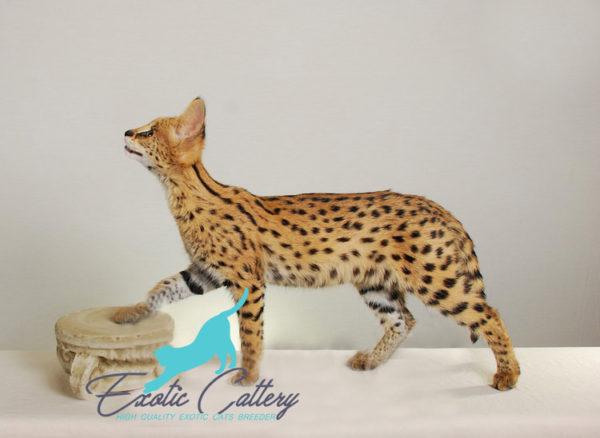 Aris Serval Female 2 Edit