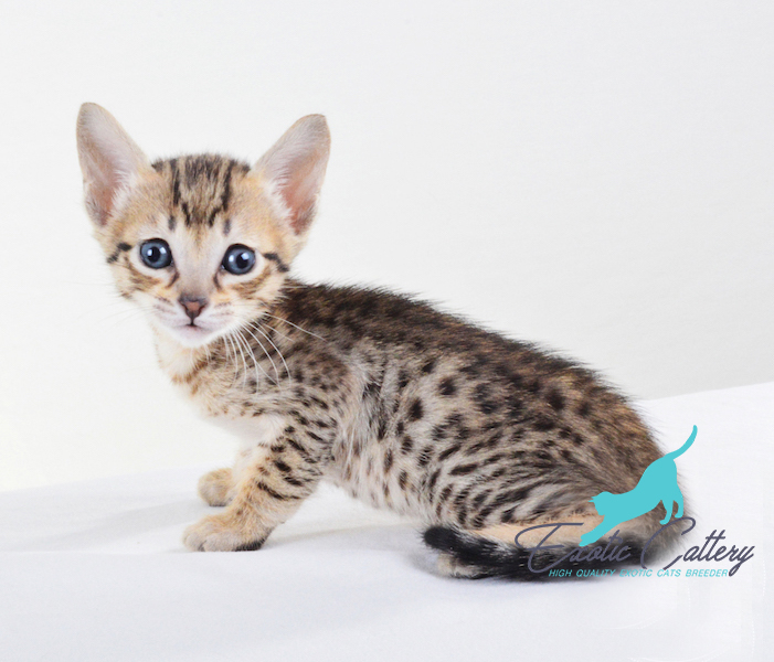 Savannah F5 Kitten For Sale F1 F2 F3 F4 F5 Caracals Servals