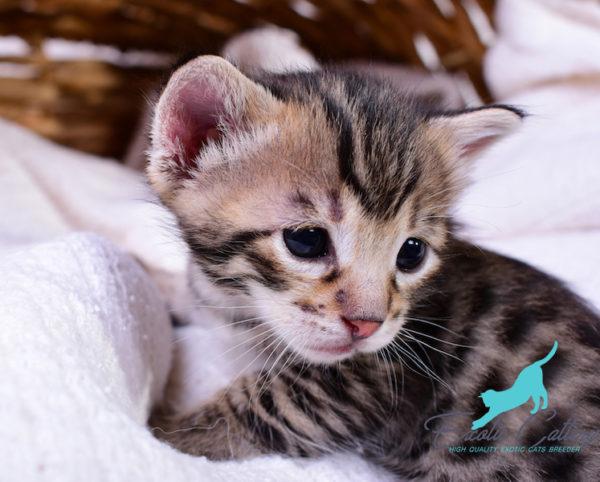Savannah cat for sale