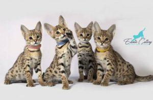 Savannah Cat For Sale At Good Price